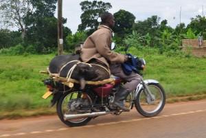 pig on motorbike